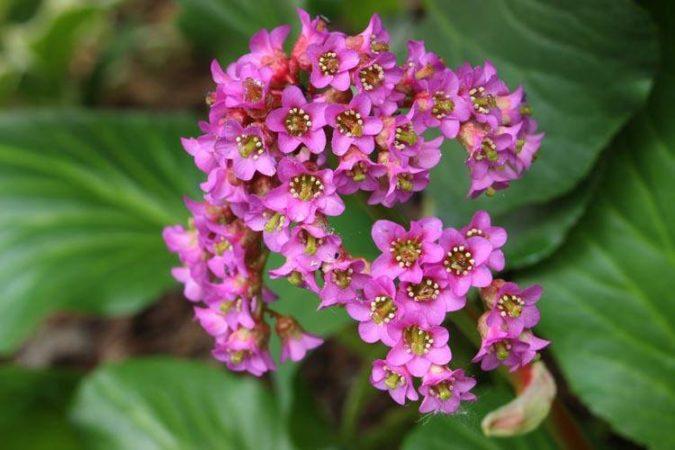 bergenia- flori de gradina superbe