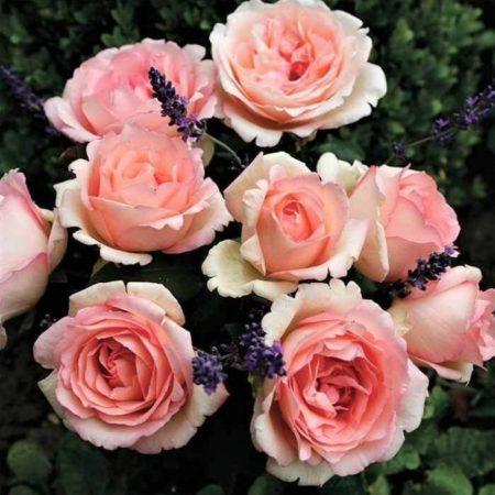 trandafirii-una din cele mai frumoase flori de gradina
